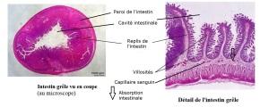 echelle-intestin-a-annoter-corrige-vrai